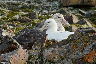 Southern Giant Petrel couple