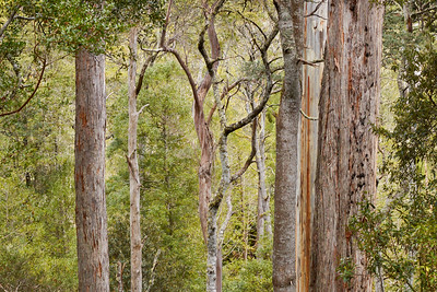 White Gum trees at Evercreech