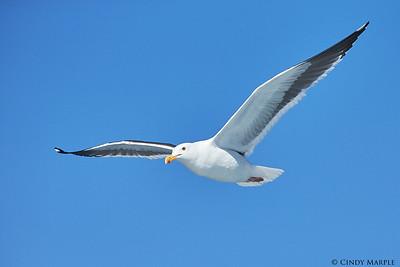 Western Gull adult