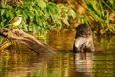 Giant Otter and Social Flycatcher