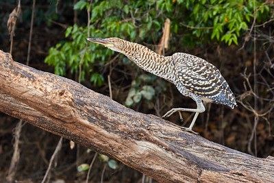 Rufescent Tiger Heron immature