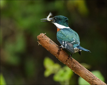 Green Kingfisher male