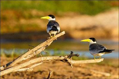 Large-billed Terns