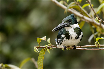 Amazon Kingfisher female