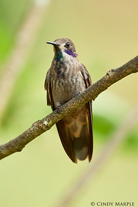 Brown Violetear