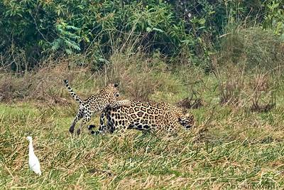 Jaguar with Cub