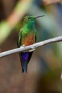 Coppery-bellied Puffleg