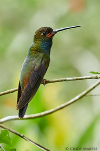 White-tailed Hillstar