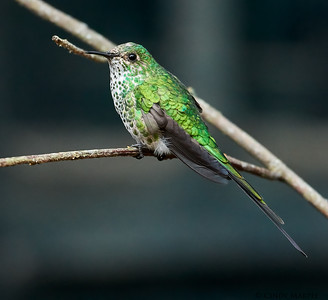 Green-tailed Trainbearer