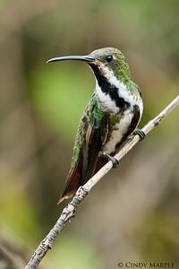 Black-throated Mango female
