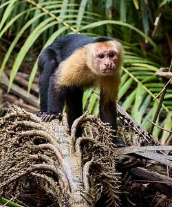 White-faced Capuchin