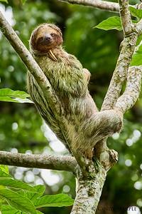 3-Toed Sloth