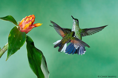 Black-bellied Hummingbird male and Green-crowned Brilliant female