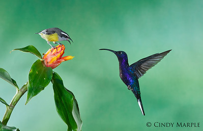 Bananaquit and Violet Sabrewing male