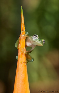 Dusty Glass Frog