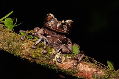 Coronated Tree Frog