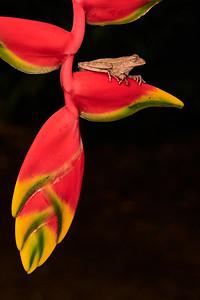 Puma Tree Frog