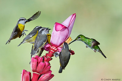 Bananaquits and Green-crowned Brilliant female