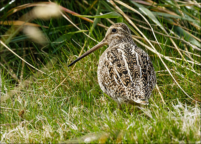 South American (Magellanic) Snipe