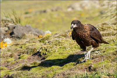 Striated Caracara (Johnny Rook)