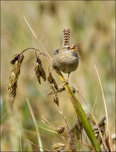 Grass Wren