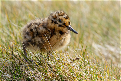South American Snipe chick