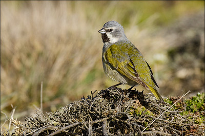 White-bridled Finch male