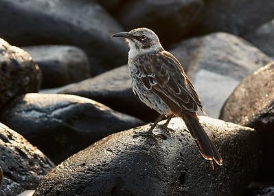 Espaniola Mockingbird