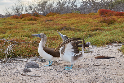 Blue-footed Booby Courtship