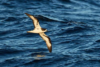 Galapagos Petrel