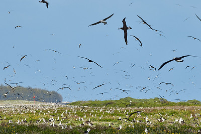 Midway Atoll Albatross colony