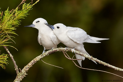 White Tern couple