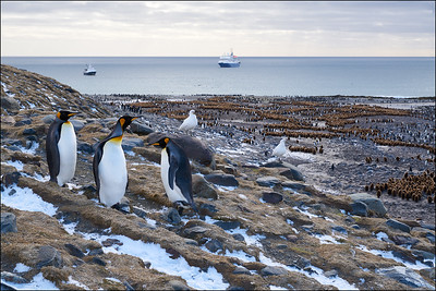 St. Andrews Bay King Penguin colony