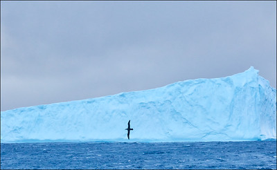 Giant Petrel and iceberg