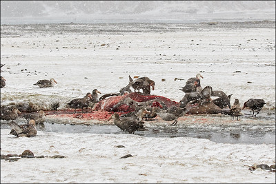 Giant Petrels on Elephant Seal Carcass