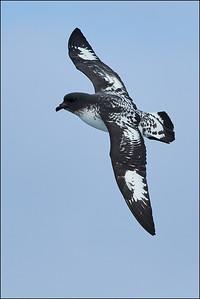 Pintado Petrel (Cape Petrel)