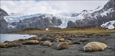 Elephant Seals, Gold Harbor