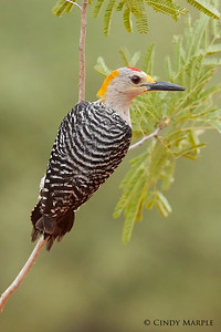 Golden-fronted Woodpecker male