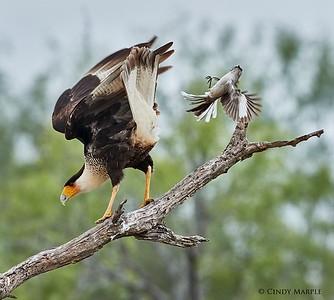 Northern Mockingbird attacking Caracara
