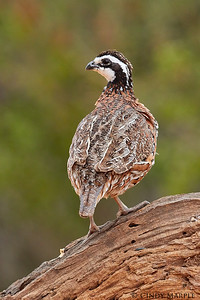 Northern Bobwhite male