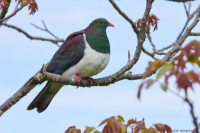 Kereru, New Zealand Pigeon