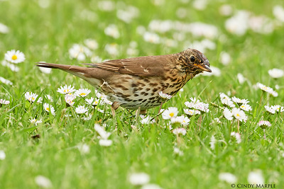 Song Thrush juvenile