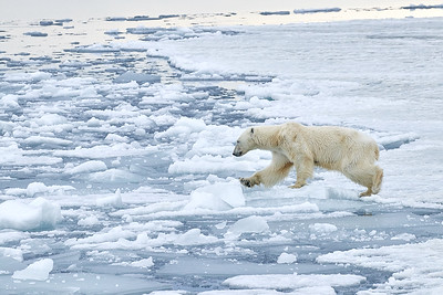 Polar Bear female jumping across the ice