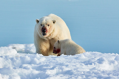 Polar Bear mama and cub eating