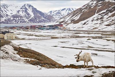 Reindeer overlooking Longyearben