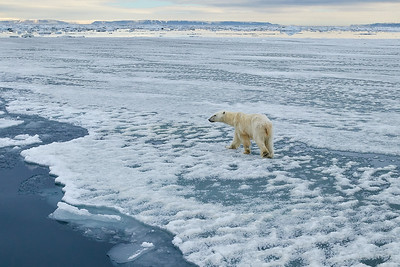 Polar Bear female on ice