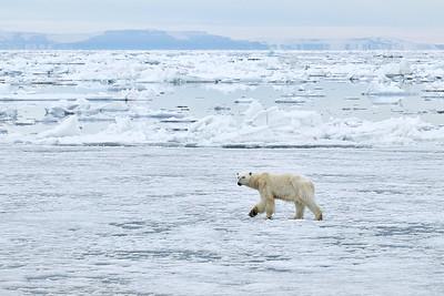 Polar Bear female