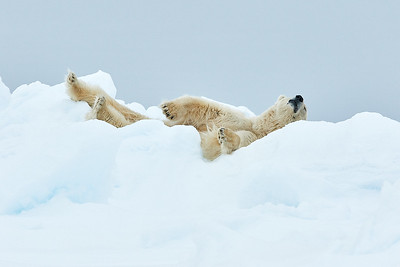 Polar Bear lounging on ice