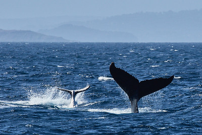 Humpback Whale cow and calf