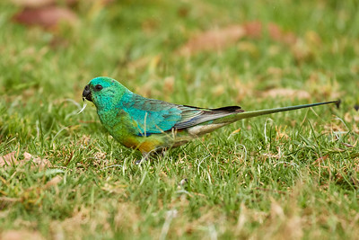 Red-rumped Parrot, male